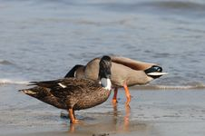 Free Duck And Drake At Santa Cruz Retreat Stock Photography - 92131732