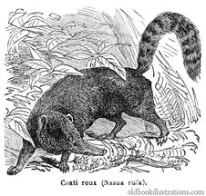 Free Red Coati Royalty Free Stock Images - 92131819