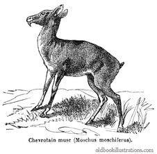 Free Siberian Musk Deer Royalty Free Stock Images - 92132049