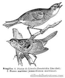 Free Seaside & Lincoln's Sparrows Stock Photos - 92132393