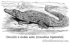 Free Saltwater Crocodile Stock Photo - 92134350