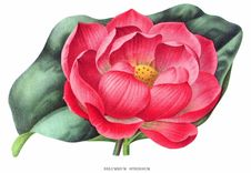 Free Nelumbo Nucifera Royalty Free Stock Photos - 92136668