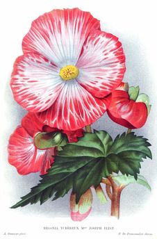 Free Tuberous Begonia Mme Joseph Eliat Royalty Free Stock Images - 92136789