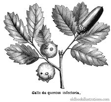Free Oak Gall Stock Images - 92138614