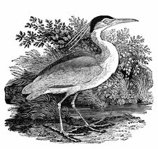 Free Black-Crowned Night Heron Royalty Free Stock Photo - 92140665
