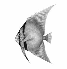 Free Orbicular Batfish Royalty Free Stock Photos - 92141488