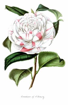 Free Countess Of Orkney &x28;Camellia&x29; Royalty Free Stock Photography - 92142417