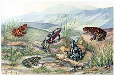 Free Harlequin Frogs Stock Image - 92142881