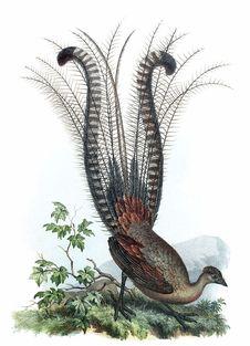Free Superb Lyrebird Stock Photo - 92142970