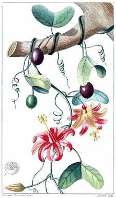 Free Passiflora Murucuja Royalty Free Stock Photography - 92143097