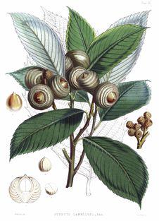 Free Quercus Lamellosa Royalty Free Stock Image - 92144916