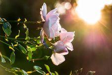 Free Roses At Sunset Royalty Free Stock Photo - 92160305