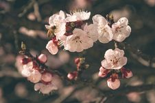 Free Blossoming Apple Tree Royalty Free Stock Image - 92160736