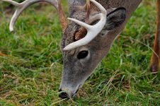 Free Male Deer Closeup Stock Image - 92160901