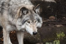 Free Portrait Of Wild Wolf Stock Photo - 92160920