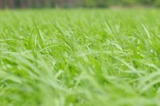 Free Green Grass Royalty Free Stock Image - 92161106