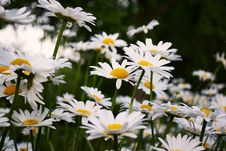Free Daisy Flowers Royalty Free Stock Images - 92161189