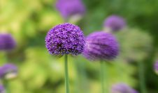 Free Purple Blooms In Garden Royalty Free Stock Image - 92161216