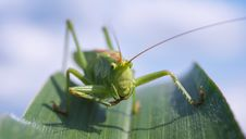 Free Insect, Locust, Cricket Like Insect, Cricket Royalty Free Stock Photos - 92163338