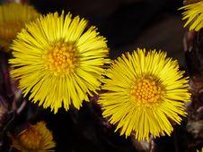 Free Flower, Yellow, Dandelion, Flora Stock Photography - 92163372