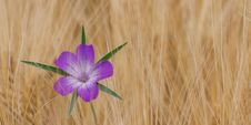 Free Flower, Flora, Purple, Wildflower Royalty Free Stock Photo - 92163855