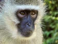 Free Mammal, Macaque, Fauna, Primate Stock Photo - 92166030