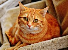 Free Cat, Whiskers, Small To Medium Sized Cats, Fauna Royalty Free Stock Photography - 92166257