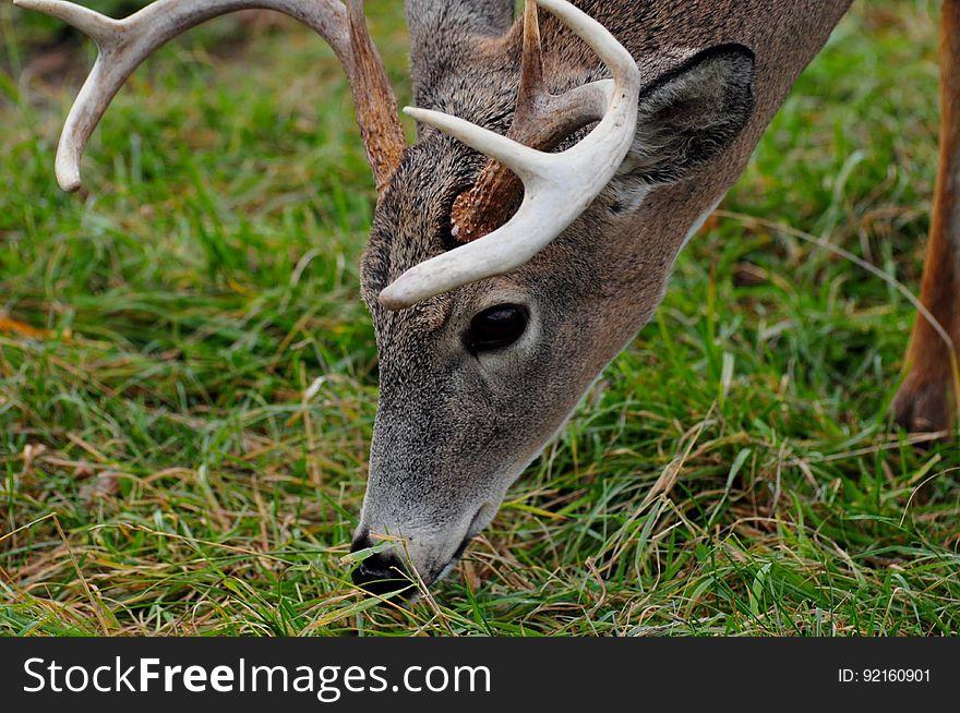 Male deer closeup