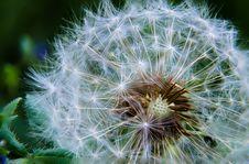 Free Ripe Dandelion Royalty Free Stock Photo - 92174265