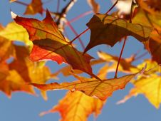 Free Maple Leaf, Leaf, Autumn, Deciduous Stock Photos - 92174693