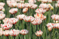 Free Red Stripe On White Tulip Royalty Free Stock Image - 9220696