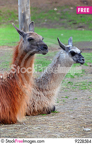 Llama couple Stock Photo
