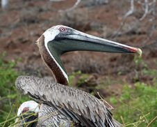 Free Brown Pelican Stock Photo - 9220460