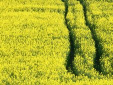 Free Oilseed Rape Stock Image - 9220591