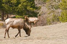 Free Elk Grazing In Woods Stock Images - 9220784