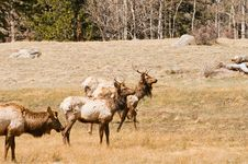 Free Elk Grazing In Woods Stock Photography - 9220852
