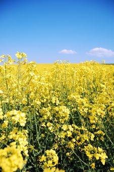 Free Canola Close-up Stock Image - 9221421
