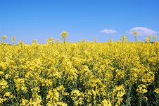 Canola Blossom Royalty Free Stock Images