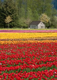 Free Tulip Farm Royalty Free Stock Images - 9221929