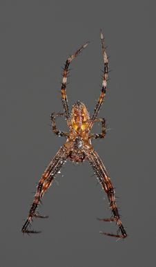 Free Hanging Spider Stock Photos - 9221953