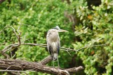 Free Blue Heron Royalty Free Stock Photo - 9223605