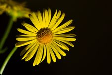 Free Yellow Chrysanthemum Royalty Free Stock Photo - 9225885