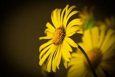 Free Yellow Chrysanthemum Stock Photos - 9225923