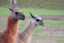 Free Llama Couple Royalty Free Stock Photography - 9228567