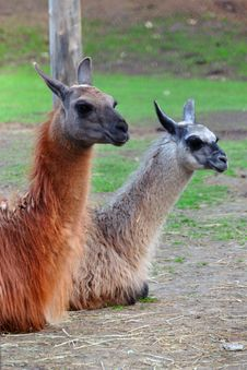 Free Llama Couple Stock Images - 9228584