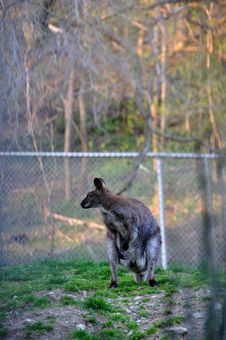 Free Kangaroo Stock Photography - 9228652