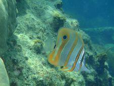 Free Chelmon Rostratus - Four Eye Butterfly Fish Stock Photos - 9228673