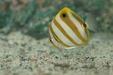 Free False Batfish (Parachaetodon Ocellatus) Stock Image - 9228941