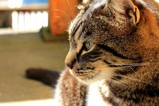 Free Portrait Of Domestic Cat Royalty Free Stock Photos - 92236498