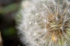 Free Dandelion  Clock  Closeup Stock Image - 92237801